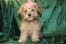 Sunshine Female CKC Yorkipoo $1750 BUT WAIT JUST DISCOUNTED INGUINAL HERNIA $999 WITH ALL VACCINES INCLUDING RABIES Ready 7/13 AVAILABLE 4.13 LBS 16 WKS OLD