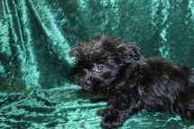 Chip Male T-cup CKC Yorkipoo $1750 Ready 8/11 SOLD MY NEW HOME COCONUT CREEK , FL 1.9 LBS 10W4D