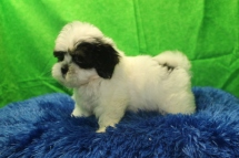 Elton John Male CKC Havanese $1750 Ready 7/19 AVAILABLE 2.10 lbs 9 wks
