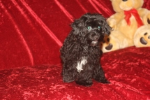 Kona Male CKC Havapoo $1750 BUT WAIT PUPPY SPECIAL $1500 Ready 8/14 AVAILABLE 4.4 LBS 15 weeks old