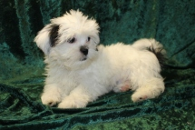 Ringo Starr Male CKC Havanese $1750 BUT WAIT PUPPY SPECIAL $1500 Ready 7/19 SOLD MY NEW HOME IS ST MARYS, GA 4.13 lbs 14 wks