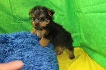 Snickers Male CKC T-cup Yorkie $1750 Ready 7/25 SOLD MY NEW HOME JACKSONVILLE, FL 1 Lb 7.5 oz 8 wks