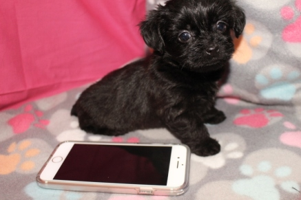Belle Female CKC T-cup Yorkipoo $1750 Ready 8/11 SOLD MY NEW HOME GREENVILLE, SC