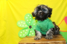 Caddy Male CKC Shihpoo $1750 BUT WAIT PUPPY SPECIAL $1500 Ready 5/21 SOLD MY NEW HOME NICEVILLE, FL 10 WKS 3.3 lbs