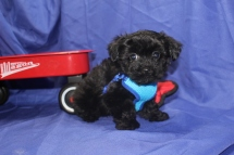 Cogsworth Male CKC T-cup Yorkipoo $1750 Ready 8/11 SOLD MY NEW HOME ST JOHNS, FL 1.8 LBS 9 WKS