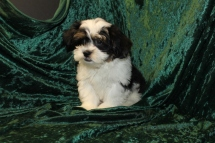 Elvis Presley Male CKC Havanese $1750 Ready 7/19 SOLD MY NEW HOME PONTE VEDRA BEACH, FL 5.9 Lbs 14 Wks old 5.9 Lbs 14 Wks old