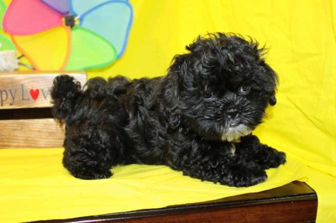 Bimmer Male CKC Shihpoo $1750 BUT WAIT PUPPY SPECIAL $1500 Ready 5/21 AVAILABLE 10WKS 3 lbs