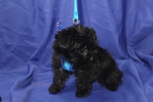 Chip Male T-cup CKC Yorkipoo $1750 Ready 8/11 HAS DEPOSIT MY NEW HOME COCONUT CREEK , FL 1.2 LBS 9WKS