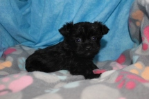 Chip Male T-cup CKC Yorkipoo $1750 Ready 8/11 AVAILABLE 15 oz 5W5D