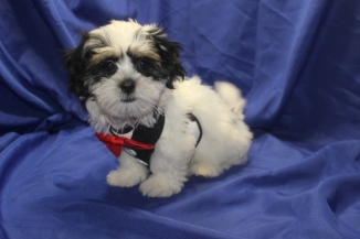 Elton John Male CKC Havanese $1750 BUT WAIT PUPPY SPECIAL $1500 Ready 7/19 SOLD MY NEW HOME NORTH SMITHFIELD, RI 4.2 LBS 12 WKS