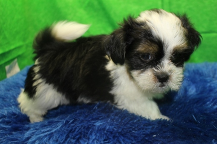 Elvis Presley Male CKC Havanese $1750 Ready 7/19 AVAILABLE 2.13 lbs 9 wks