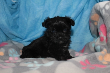 Lumiere Male T-cup CKC Yorkipoo $1750 Ready 8/11 13.9OZ 5W5D SOLD JACKSONVILLE, FL