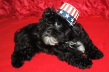 Bimmer Male CKC Shihpoo $1750 BUT WAIT PUPPY SPECIAL $1250 With All His Shots Including Rabies Ready 5/21 SOLD MY NEW HOME MELROSE, MA 12W2D 3.5LBS