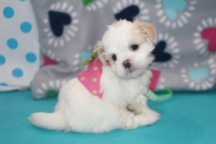 Delilah Female CKC Havashu $1750 Ready 7/19 SOLD MY NEW HOME REVERE, MA 1.14 LBS 6W1D