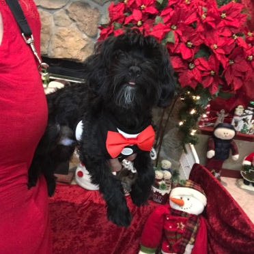 Kona Male CKC Havapoo $1750 BUT WAIT PUPPY SPECIAL $1250 HAS ALL PUPPY VACCINES AND RABIES COMPLETED TILL SEPT 2018 Ready 8/14 SOLD MY NEW HOME OWOSSO, MI 5.4 LBS 20W2D old