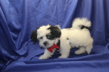 Mick Jagger Male CKC Havanese $1750 Ready 7/19 SOLD MY NEW HOME PONTE VEDRA BEACH,, FL 4.8 LBS 12 WKS