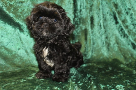 Chocolate Chip Male CKC Shihpoo $1750 Ready 8/23 HAS DEPOSIT MY NEW HOME FORT LAUDERDALE, FL 2.8 LBS 9W2D