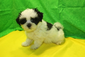 Johnny Cash Male CKC Havanese $1750 Ready 7/19 SOLD MY NEW HOME YULEE, FL 2.6 Lbs 9 Wks