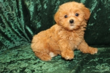 America Female CKC Shihpoo $2000 Ready 8/29 SOLD MY NEW HOME JACKSONVILLE FL 2 lbs 8 wks old