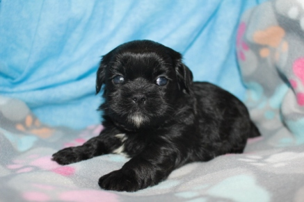 Chocolate Chip MaleT-cup CKC Shihpoo $1750 Ready 8/22 AVAILABLE 1.9 LBS 4 WKS