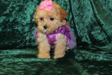 Freedom Female CKC Shihpoo $2000 Ready 8/29 SOLD MY NEW HOME IS PALM BEACH, FL 1.13 lbs 8 wks old
