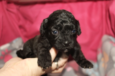 Liberty Female CKC Shihpoo $2000 Ready 8/29 AVAILABLE 1.3 lbs 3 wks