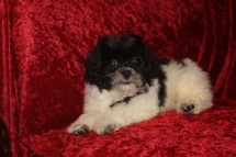 Oreo Male CKC Male Shihpoo $1750 BUT WAIT SPECIAL $1250 WITH ALL HIS VACCINES INCLUDING RABIES Ready 8/22 AVAILABLE 5.8 lbs 14 wks Old