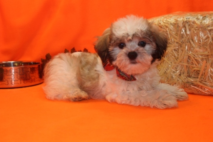 Snickerdoodle Male CKC Male Shihpoo $1750 BUT WAIT SPECIAL $1500 Ready 8/22 SOLD MY NEW HOME GAINESVILLE, FL 4.4 lbs 12 WKS Old
