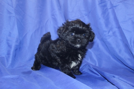 Chocolate Chip MaleT-cup CKC Shihpoo $1750 Ready 8/22 SOLD MY NEW HOME FT LAUDERDALE, FL 2.4 lbs 7 wks