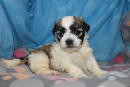 Snickerdoodle Male CKC Male Shihpoo $1750 Ready 8/22 AVAILABLE 1.11 lbs 4 wks