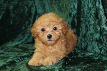 Honor Male CKC Shihpoo $1750 Ready 8/29 SOLD MY NEW HOME FT LAUDERDALE, FL 2 LBS 8 Wks old