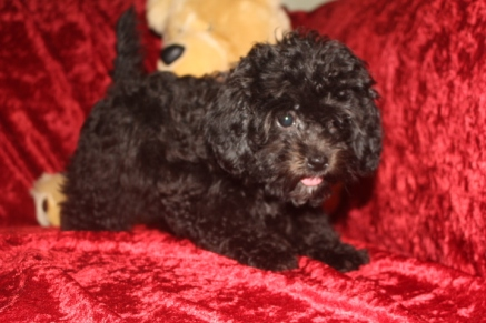 Liberty Female CKC Shihpoo $1750 BUT WAIT PUPPY SPECIAL $1500 Ready 8/29 SOLD MY NEW HOME JACKSONVILLE, FL 3.7 Lbs 13 WKS Old