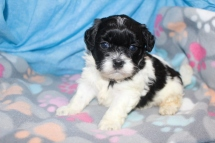 Oreo Male CKC Shihpoo $1750 Ready 8/22 AVAILABLE 1.15 LBS 4 WKS