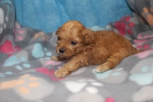 Honor Male CKC Shihpoo $2000 Ready 8/29 HAS DEPOSIT MY NEW HOME JUPITER, FL 13 oz 3 wks