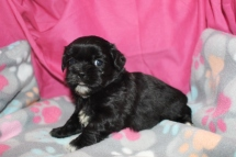 Cookie Female CKC Shihpoo $1750 Ready 8/22 AVAILABLE 1.12 LBS 4 WKS