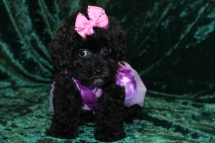 Liberty Female CKC Shihpoo $1750 Ready 8/29 AVAILABLE 2.3 lbs 8 wks old