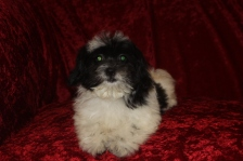 Sugar Female CKC Male Shihpoo $1750 BUT WAIT SPECIAL $1500 W/ ALL her vaccines including Rabies Ready 8/22 AVAILABLE 4.3 lbs 14 Wks Old