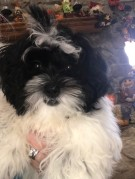 Sugar Female CKC Male Shihpoo $1750 BUT WAIT SPECIAL $1250 W/ ALL her vaccines including Rabies Ready 8/22 SOLD MY NEW HOME JACKSONVILLE, FL AVAILABLE 4.15 lbs 16W4D Old