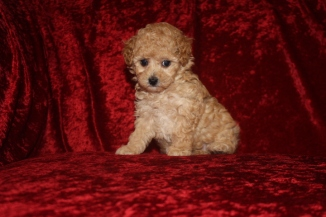 BeBe Female CKC Poodle $1750 Ready 10/14 SOLD MY NEW HOME JACKSONVILLE, FL 1.14 Lbs 6W2D Old