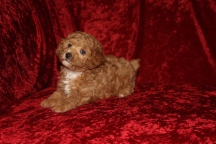 Bruno Male CKC Poodle $2000 Ready 10/14 SOLD MY NEW HOME CHARLOTTE, NC 2 Lbs 6W2D Old