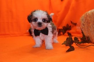 Gagan Male CKC Shihpoo $1750 Ready 9/23 HAS DEPOSIT MY NEW HOME JACKSONVILLE, FL 1.11 LBS 7W4D