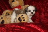 Gagan Male CKC Shihpoo $1750 Ready 9/23 HAS DEPOSIT MY NEW HOME JACKSONVILLE, FL 1.15 LBS 9W2D
