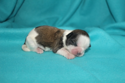 Gagan Male CKC Shihpoo $1750 Ready 9/23 AVAILABLE 6.5 oz 5 Days Old