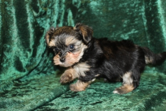 Luka Male CKC Havashire $1750 Ready 9/8 AVAILABLE 1.7 lbs 6W4D
