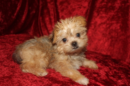 Max Male CKC Shorkie $2000 BUT WAIT SPECIAL $1750 SOLD MY NEW HOME JACKSONVILLE, FL Ready 9/19 AVAILABLE 1.14 lbs 9W5D Old