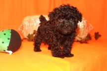 Milly Female CKC Malshipoo $1750 Ready 9/26 HAS DEPOSIT MY NEW HOME Glen ST MARYS, GA 1.9 LBS 7WKS