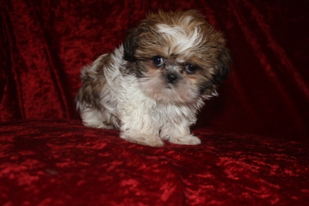Sold Miracle Gorgeous Chocolate White Imperial Ckc Shih Tzu Tlc
