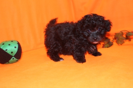 Mitzi Female CKC Malshipoo $1750 Ready 9/26 SOLD MY NEW HOME PALM COAST, FL 2 LBS 7WKS