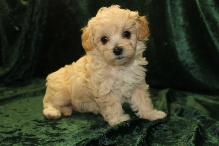 Molly Female CKC Maltipoo $1750 Ready 9/15 SOLDMY NEW HOME APOPKA,, FL 1.10 lbs 5W4D