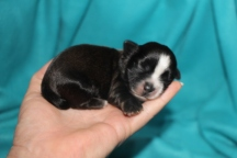 Orbit Male CKC Shihpoo $1750 Ready 9/23 AVAILABLE 6.8 oz 5 Days Old